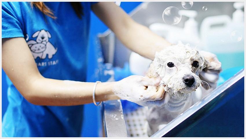 Dịch vụ tắm spa cho chó mèo hà nội và tphcm